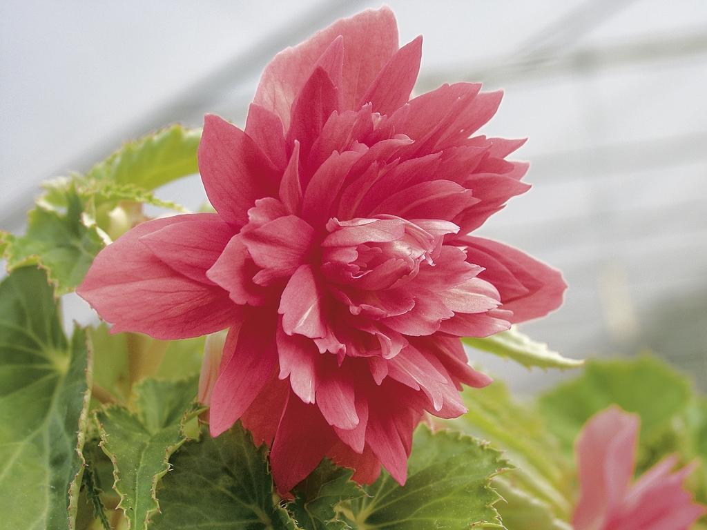 Begonia Belleconia