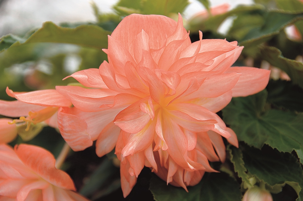 Belleconia Soft Orange