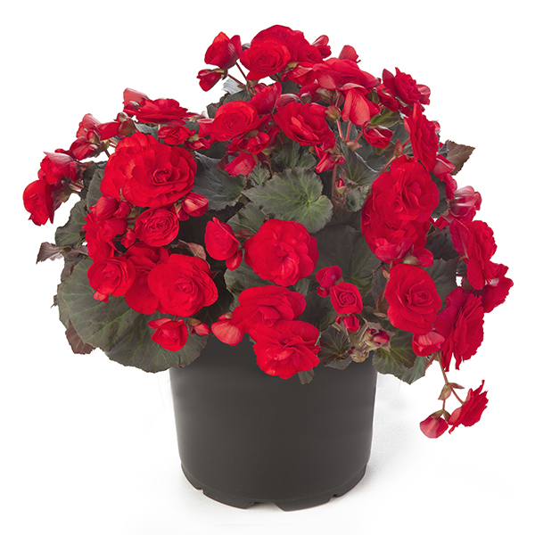 Solenia Red