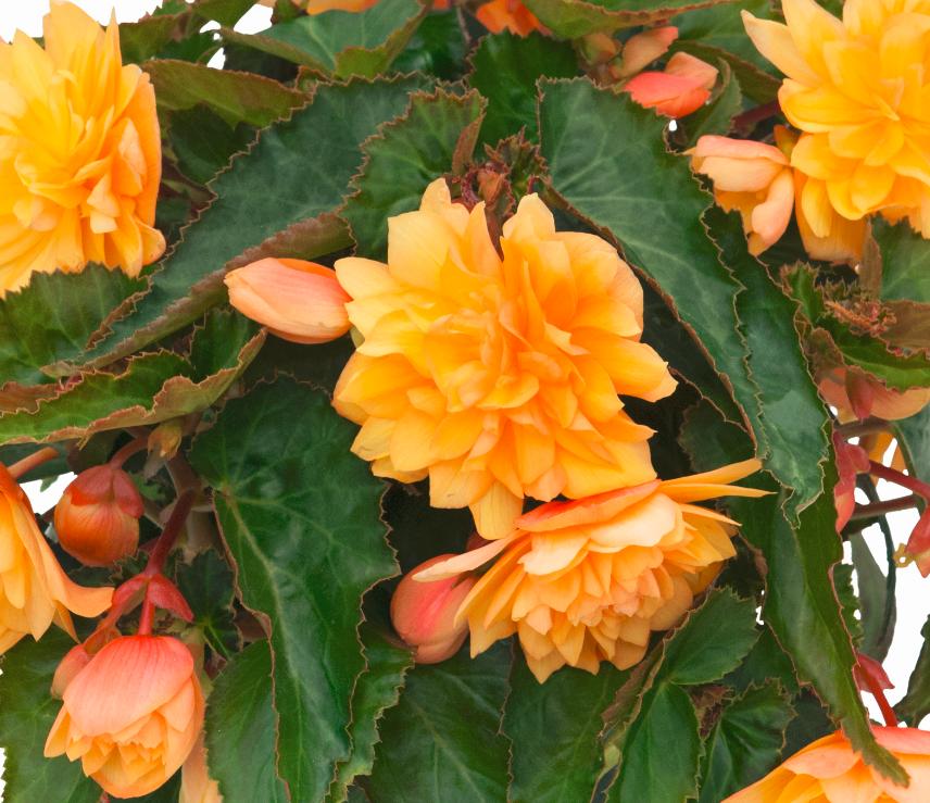 Belleconia Mango