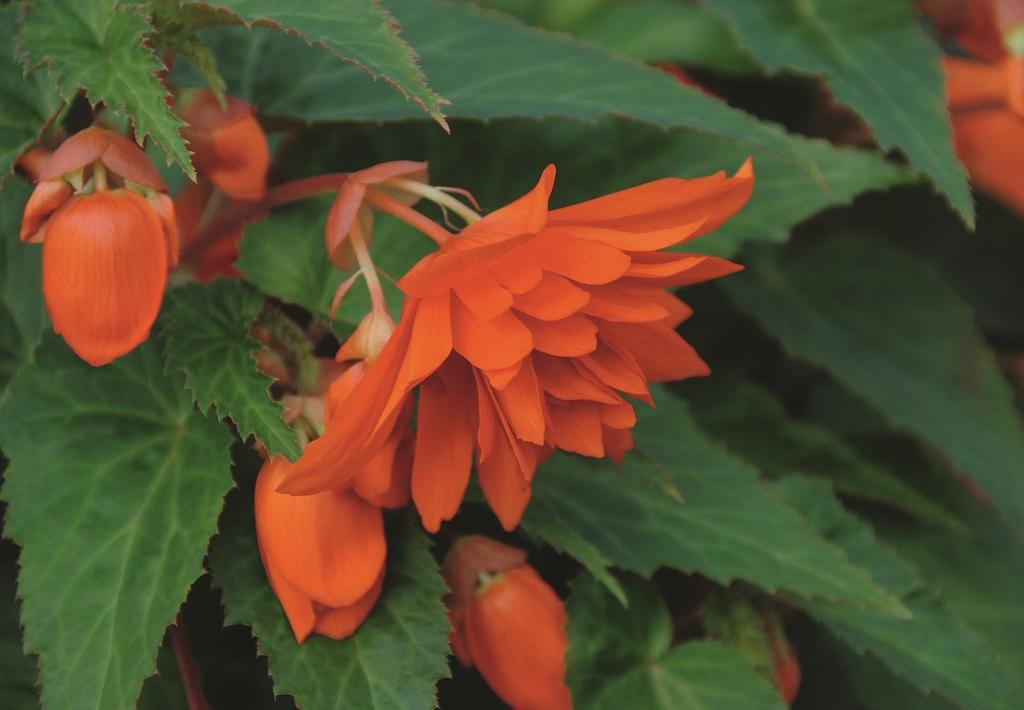 Belleconia Orange