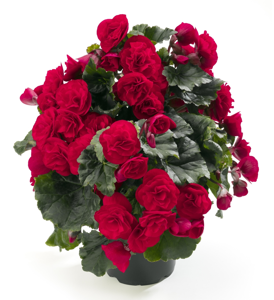 Carmen Red (új)