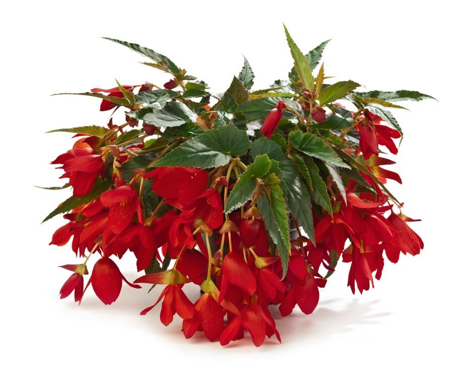Encanto Red