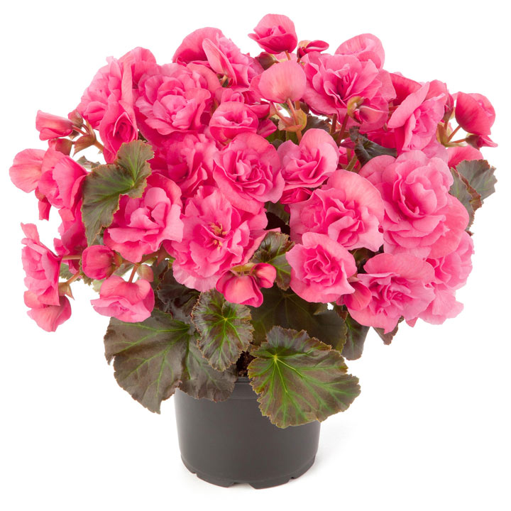 Solenia Light Pink