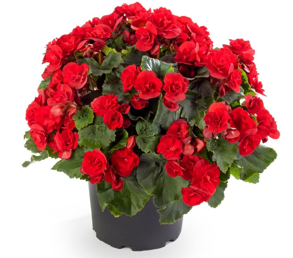 Solenia Scarlet