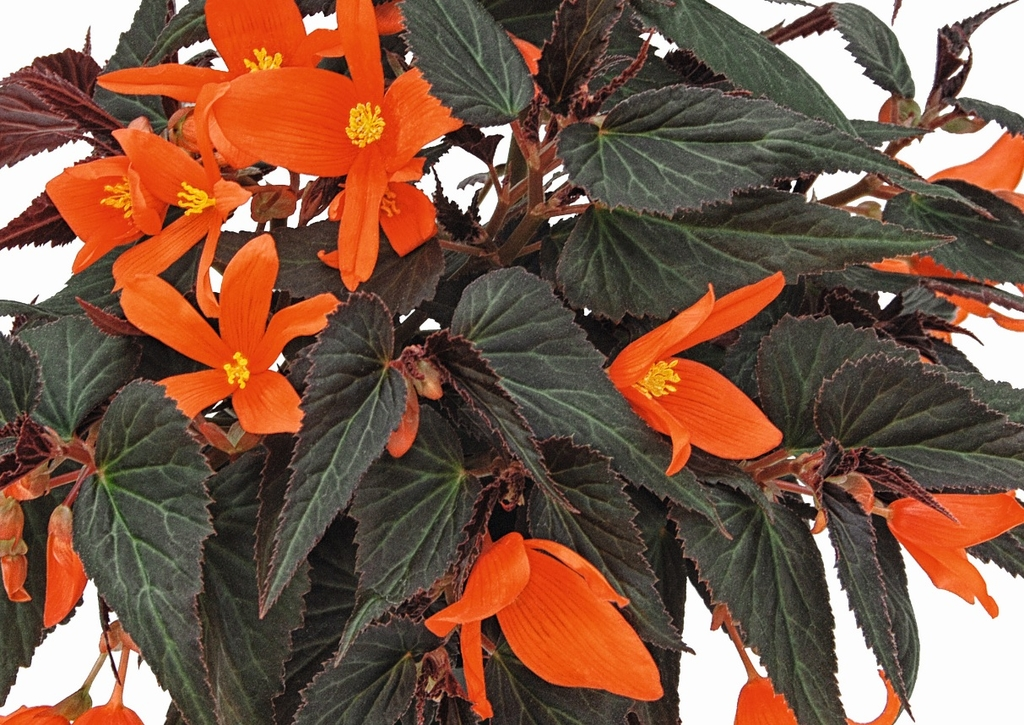 Summerwings Ebony-Orange