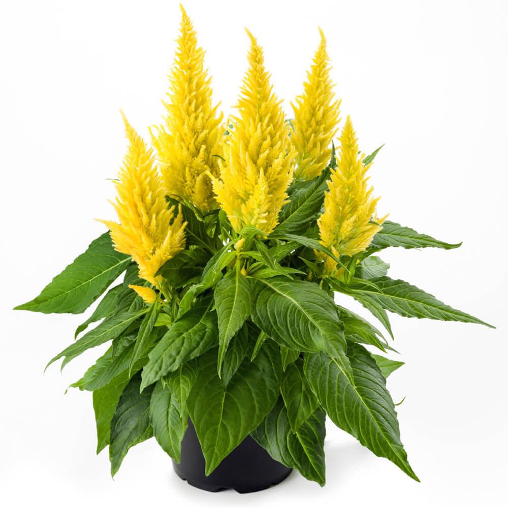 Kelos Fire Yellow (új)
