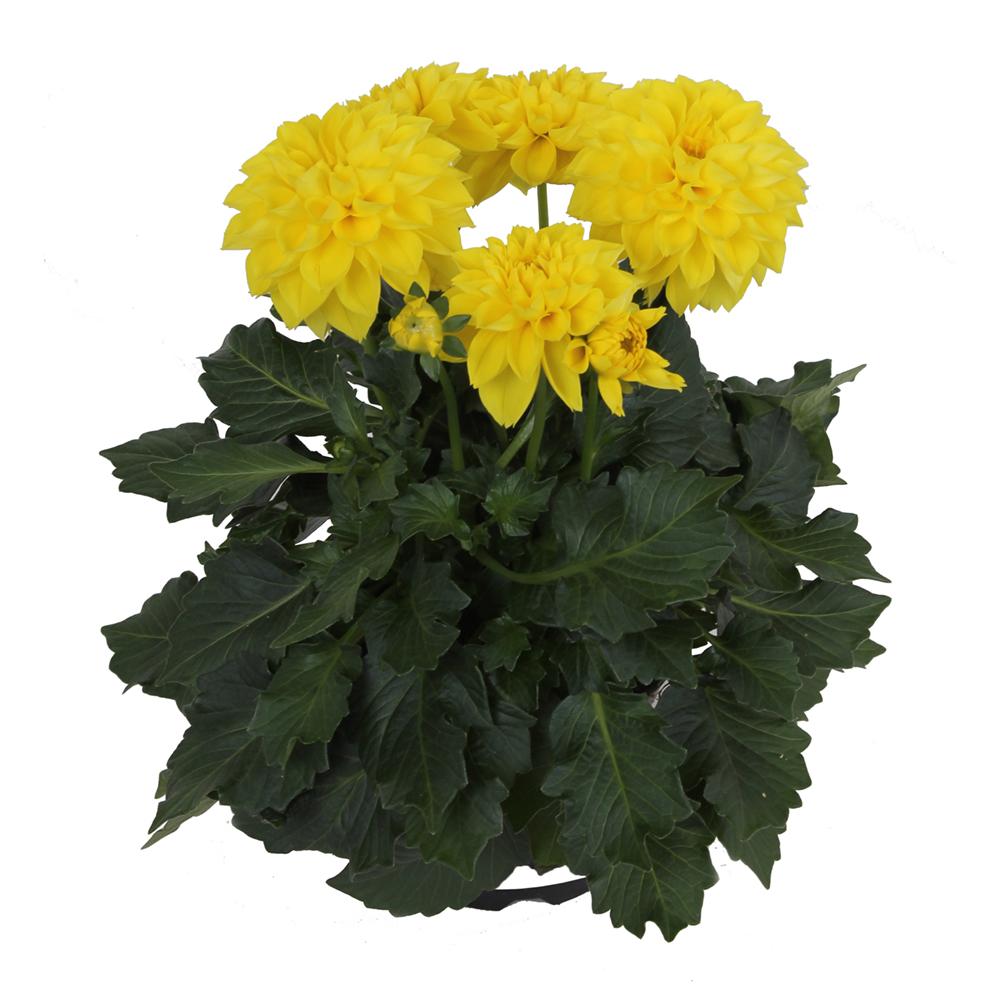 Medio Yellow
