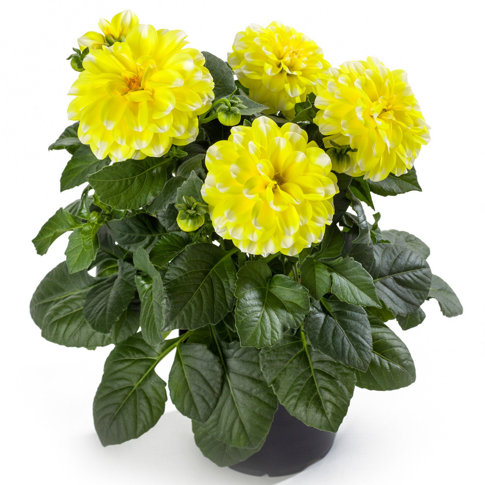 Yellow Picotee