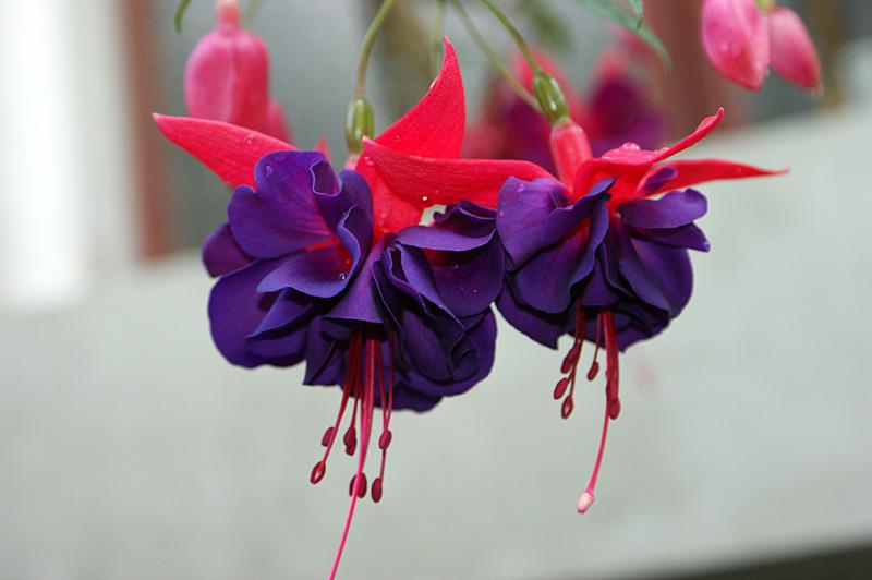 Fuchsia Óriás virágú