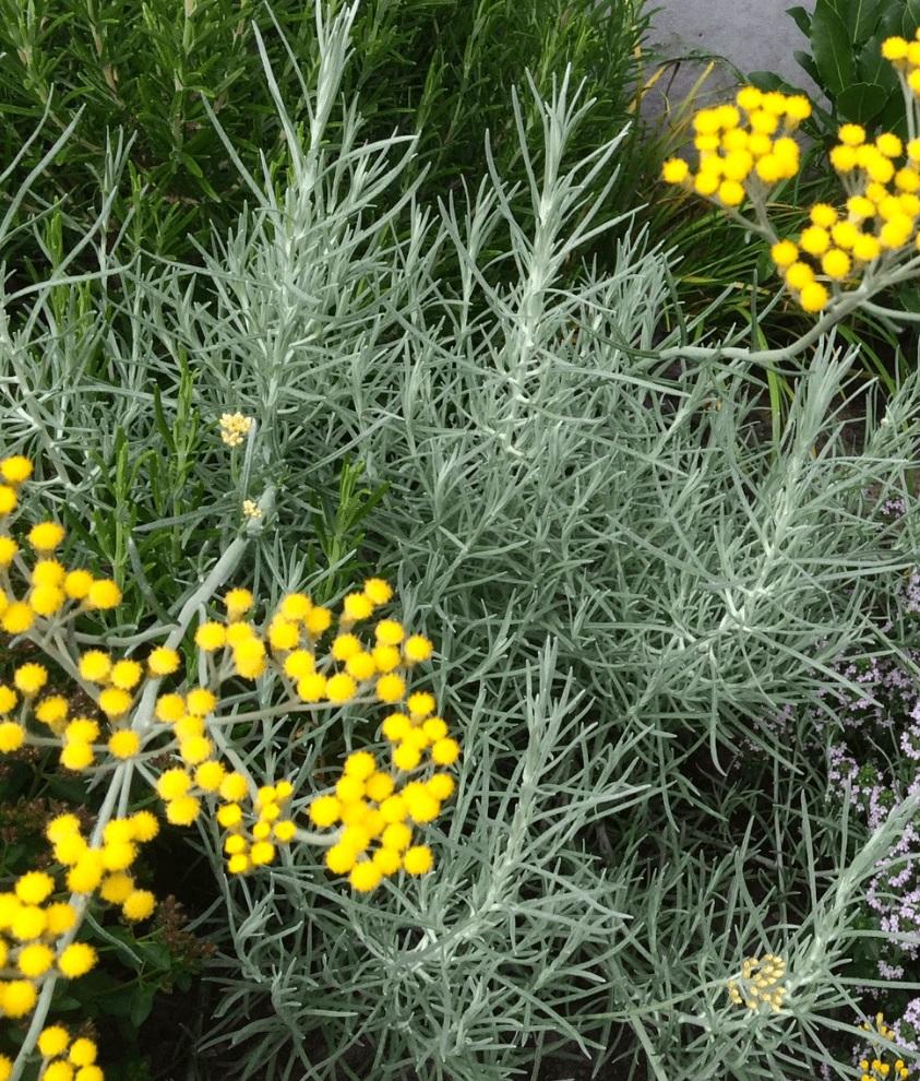 Helichrysum Italicum Curry