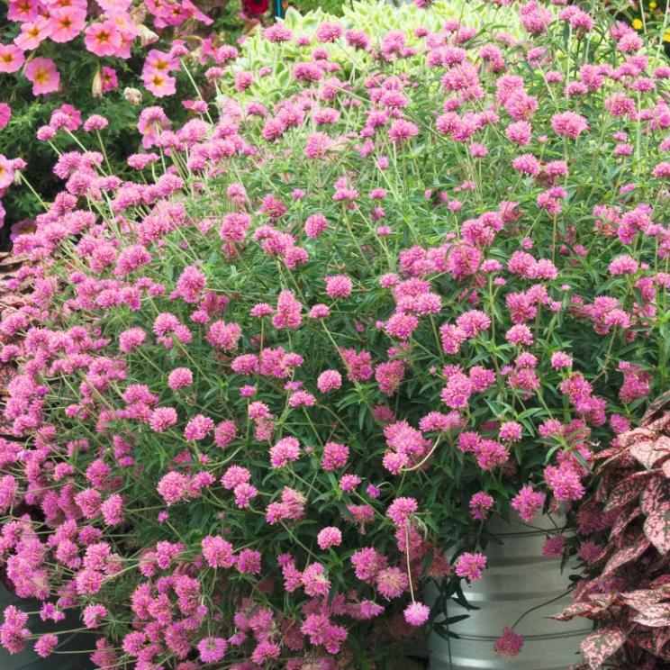 Truffula Pink PW
