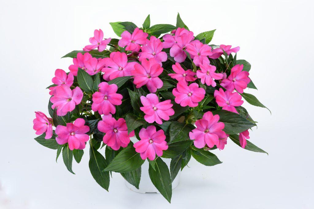 Sun Harmony Vivid Pink