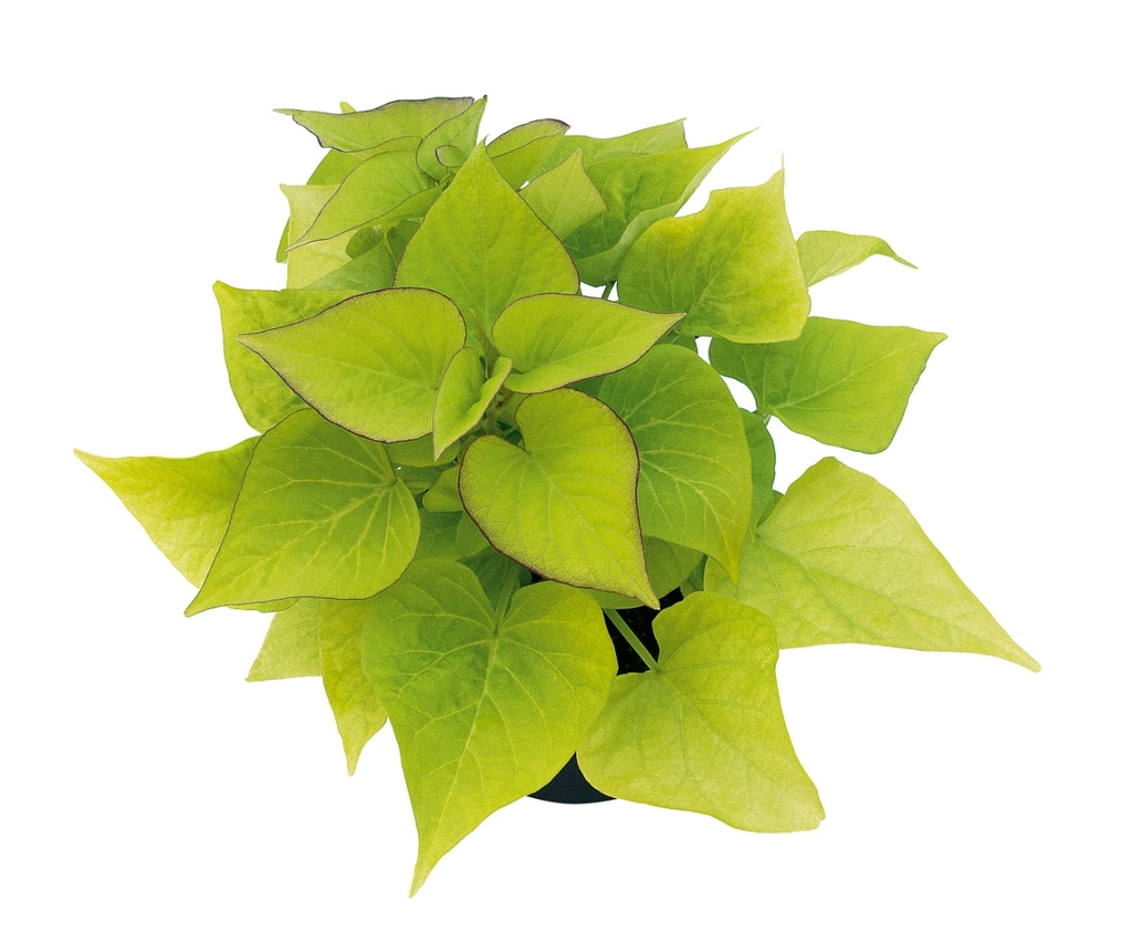 Sweeatheart Light Green