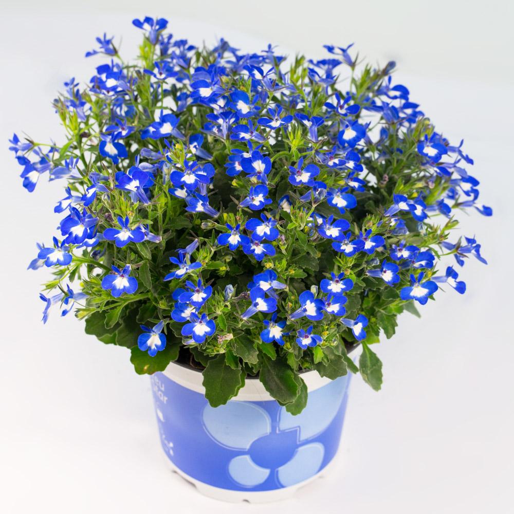 Lobelia Dobay Kertészet
