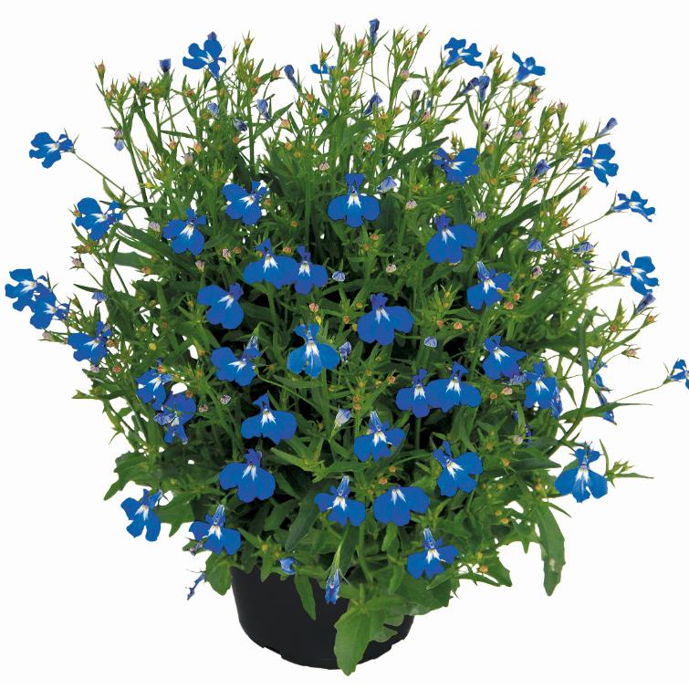Lobelix Blue