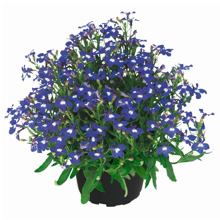 Lobelix Dark Violet