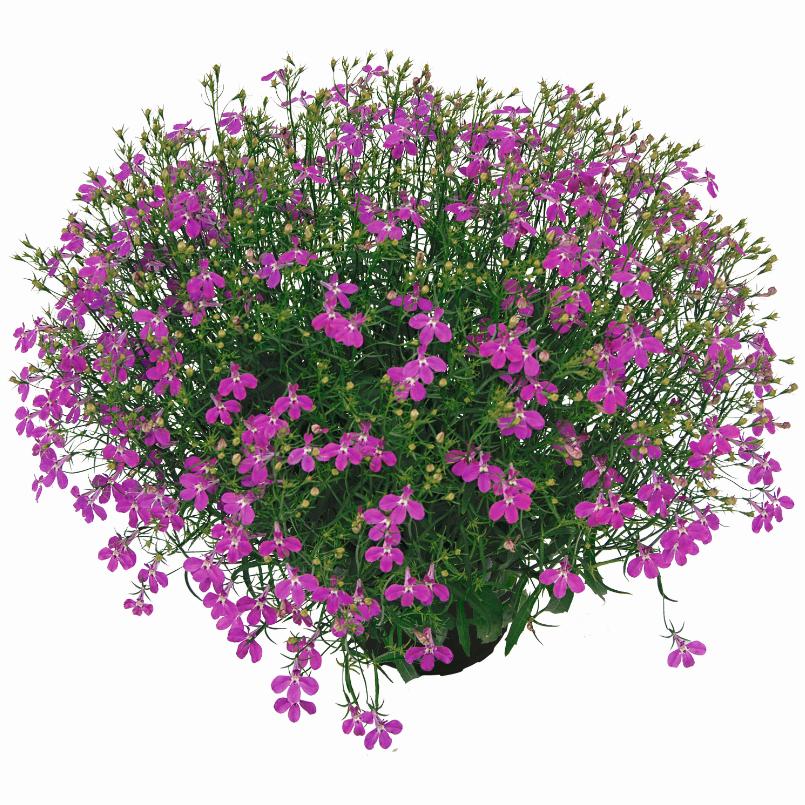 Lobelix Purple