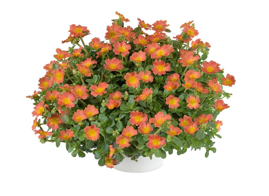 Pazzaz Nano Orange