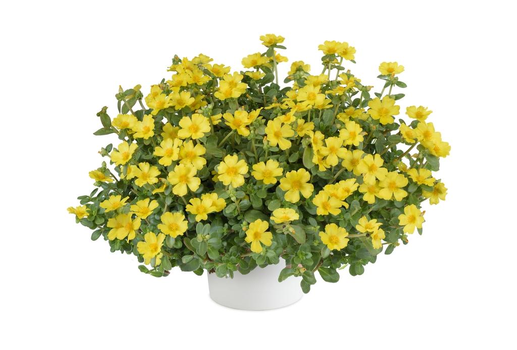 Pazzaz Nano Yellow