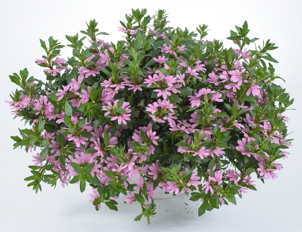 Scaevola Pink Blessing