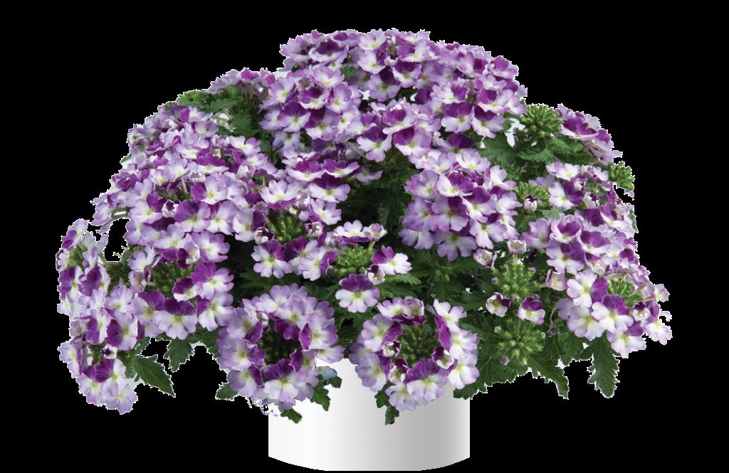 Vanessa Compact Bicolor Purple (új)