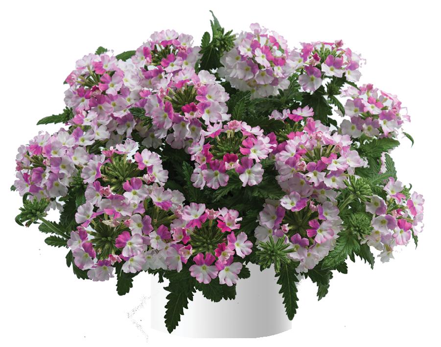 Vanessa Compact Bicolor Rose (új)