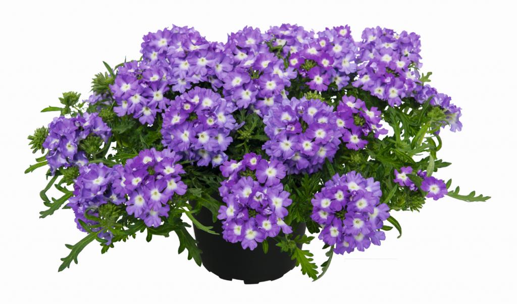 Vepita Lavender White 2020
