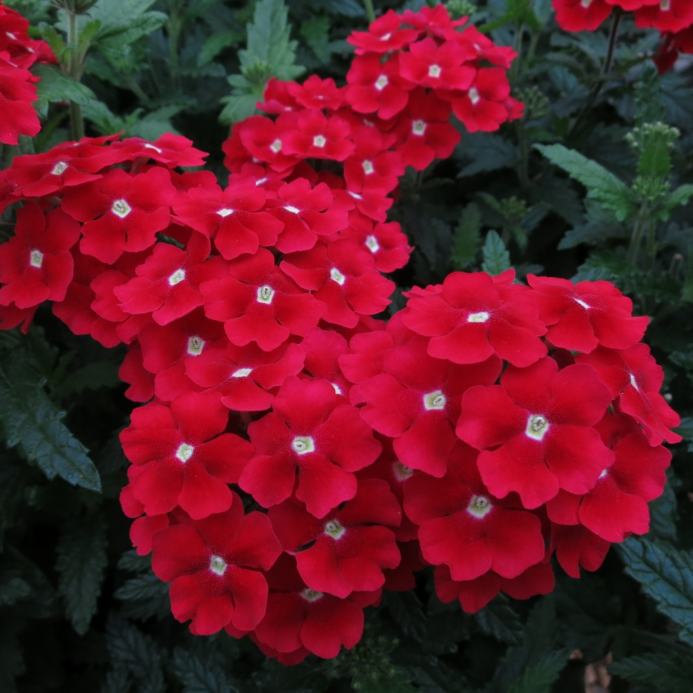 Gala Beauty Red