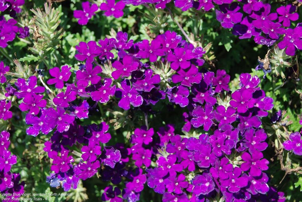 Vepita Blue Violet