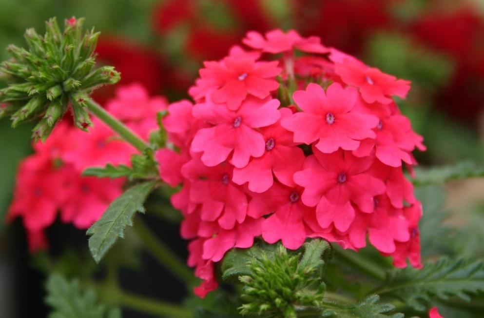 Vepita Hot Pink