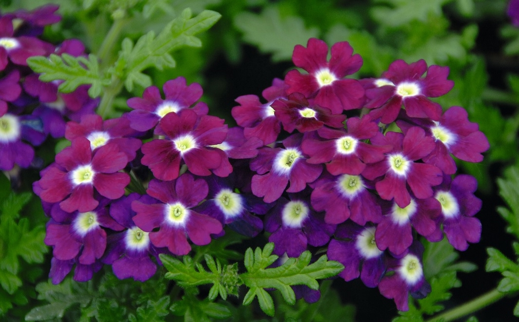 Vepita Purple White