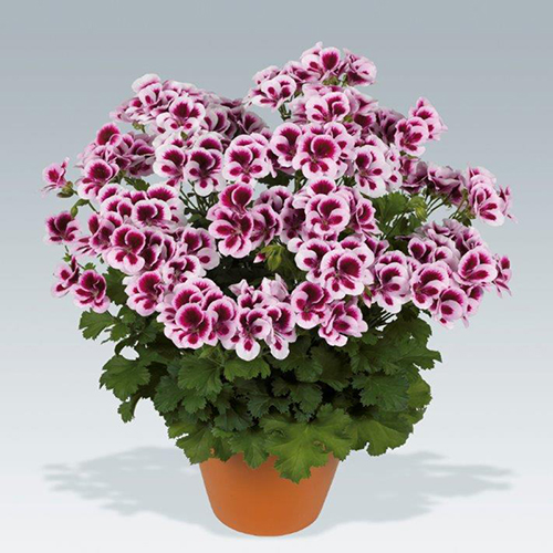 PAC Candy Flowers Bicolor
