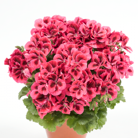 PAC Candy Flowers Raspberry Red