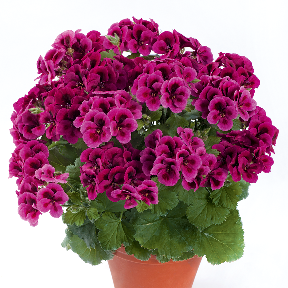 PAC Candy Flowers Violet