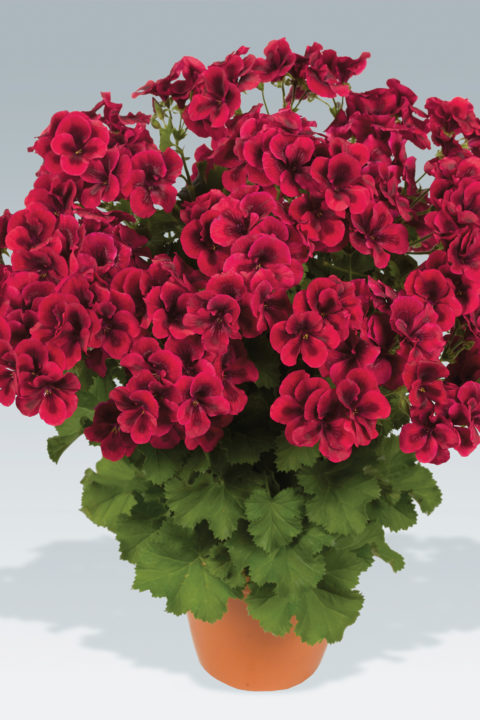 PAC Candy Flowers Bright Red