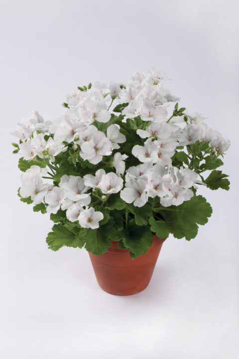 PAC Candy Flowers White