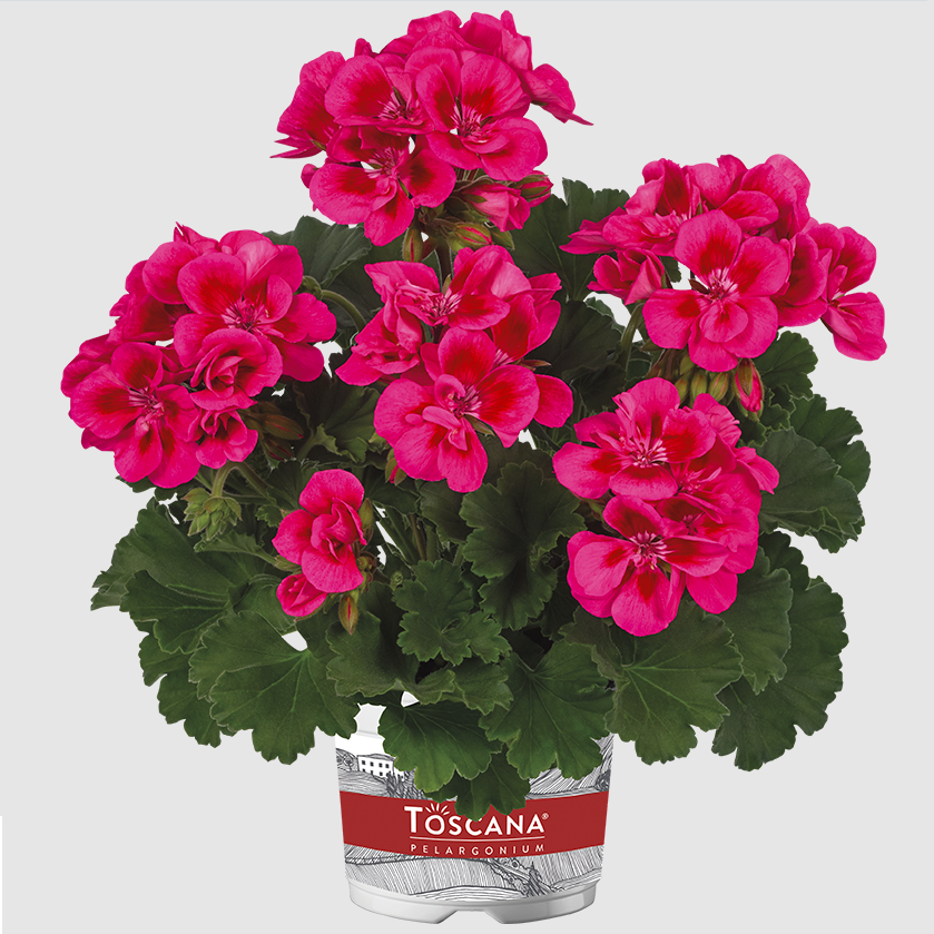 Castello Claire Rose Red Eye DM
