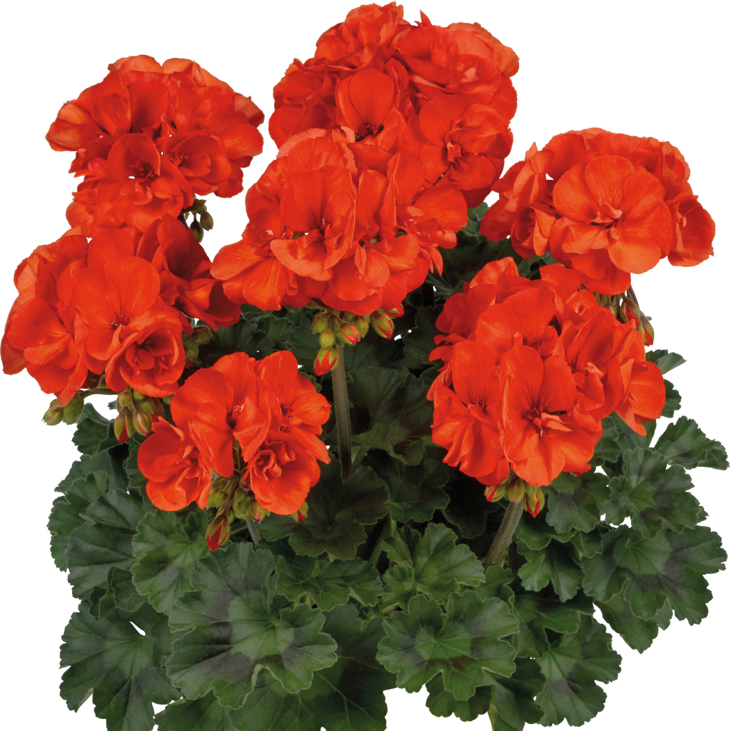 Dolce Vita Sylvia Orange