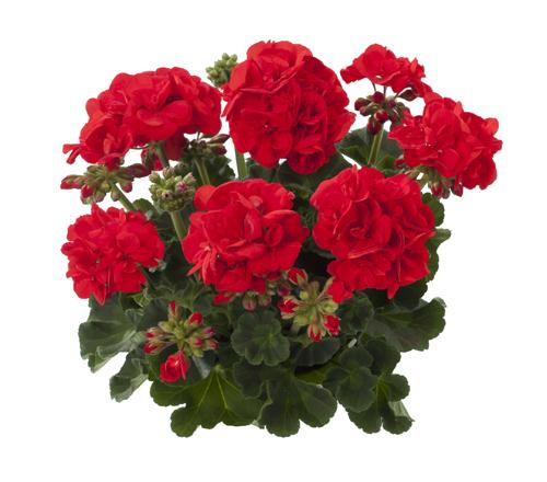 Eco Scarlet (Friesia)