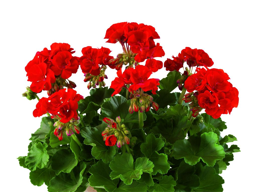 Eco Red (Smart Dark Red)