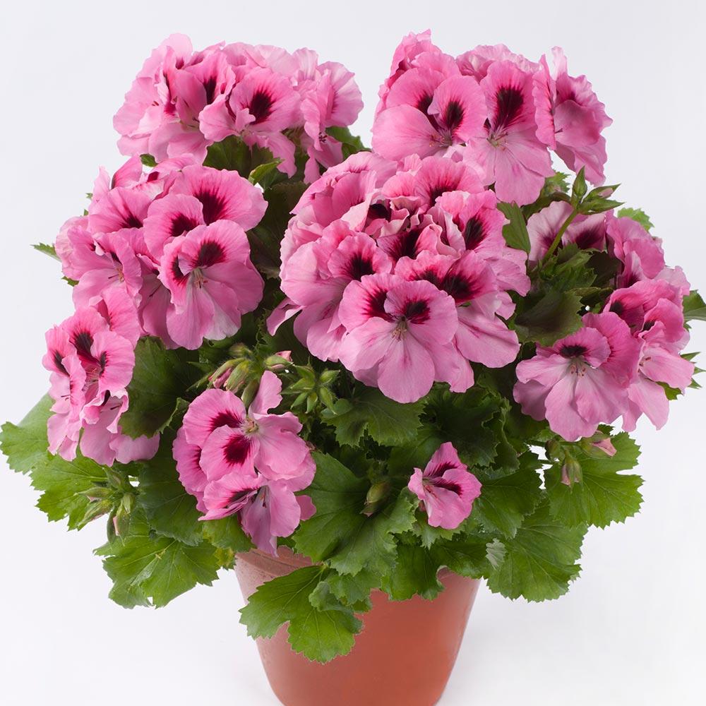 PAC Aristo Pink
