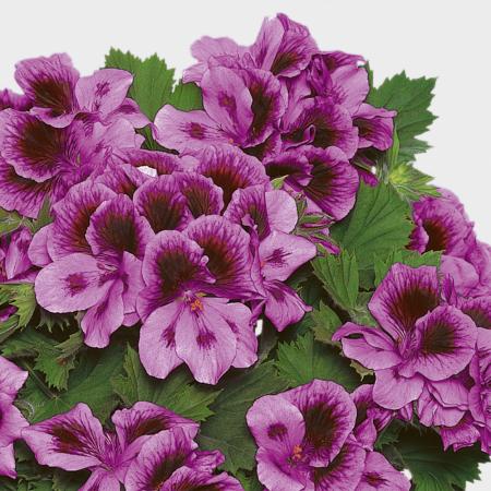 PAC Aristo Lilac Purple