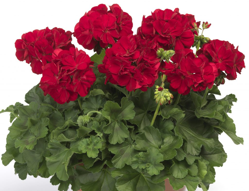 Calliope Dark Red