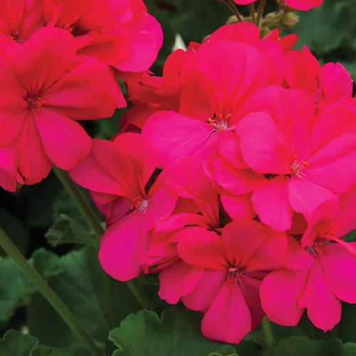 Medio Hot Pink (Rita)