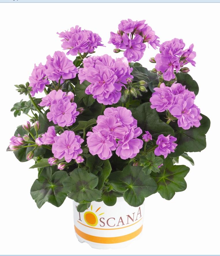 Medio Lavender (Teske)