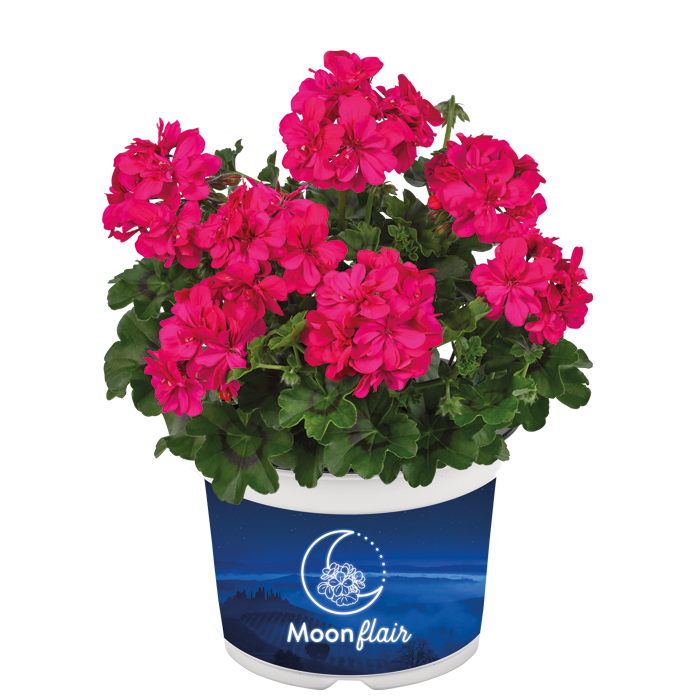 Moonflair Dark Pink