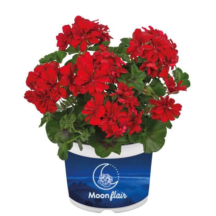 Moonflair Red