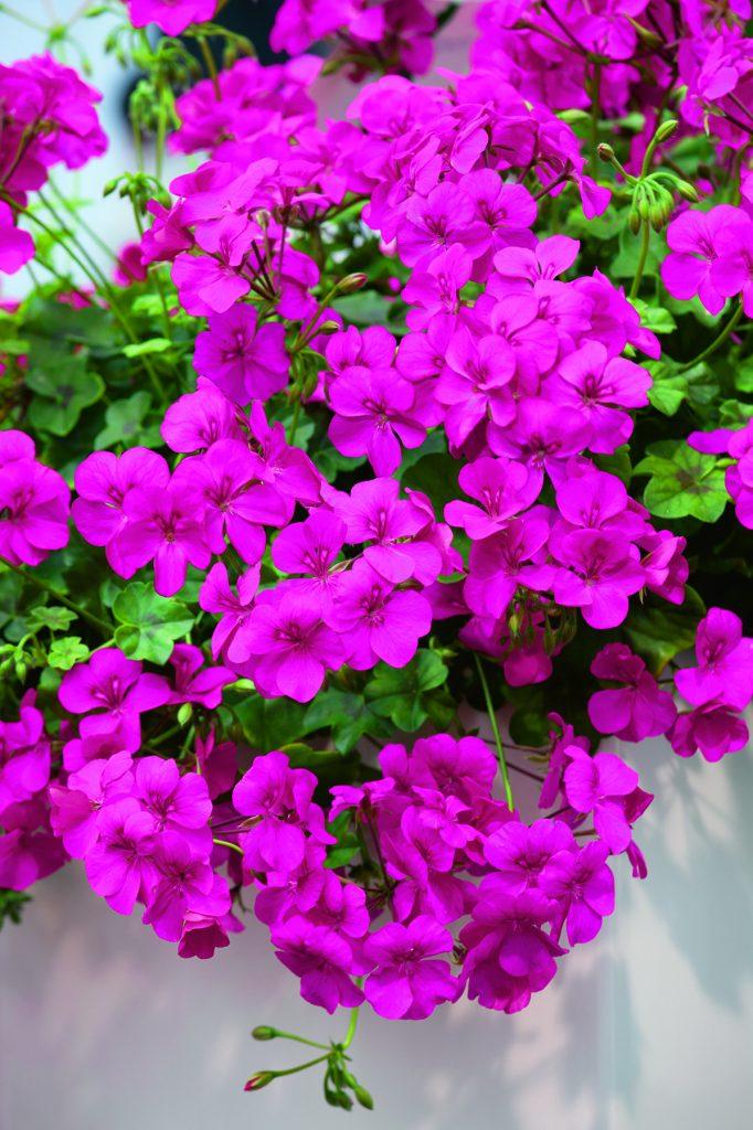 PAC Happy Face Purple