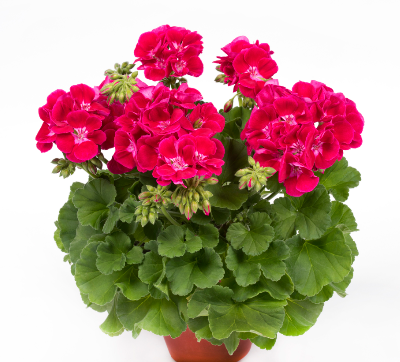 PAC Flower Fairy Red Splash (új)